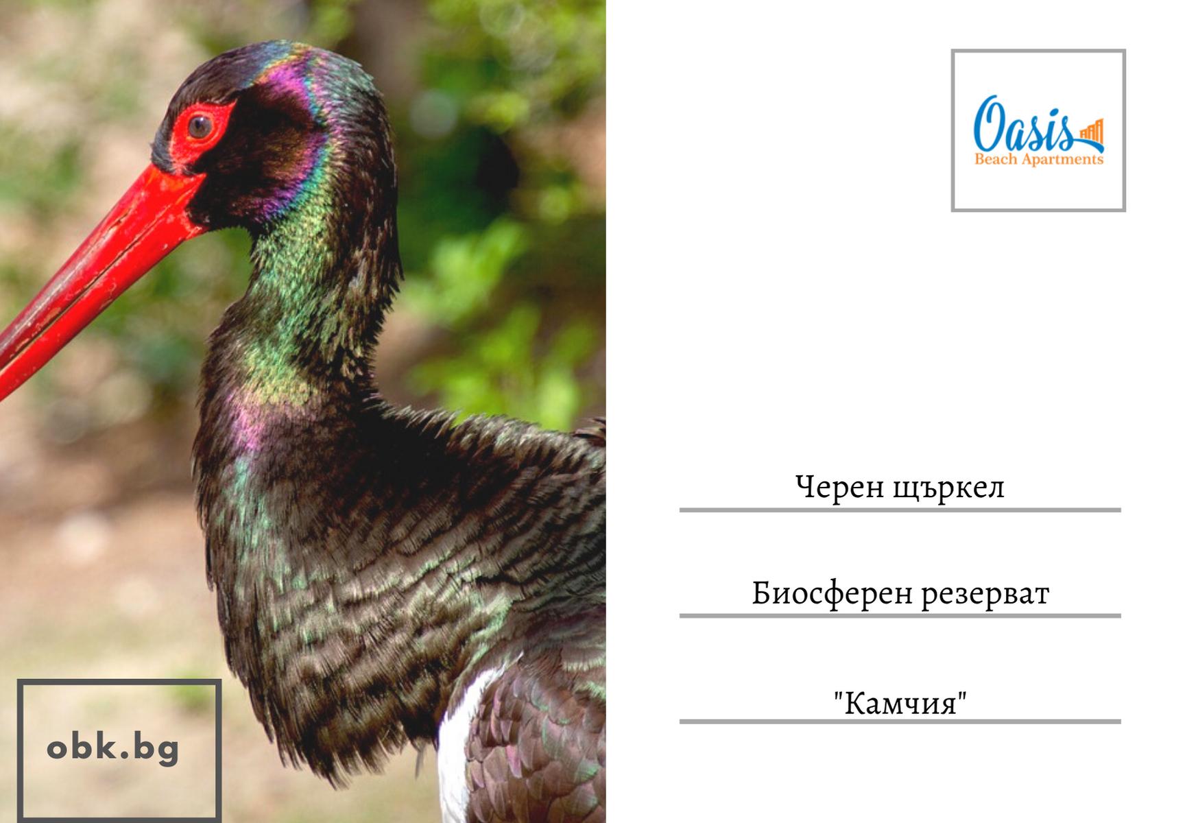 black_stork